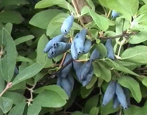 Голубое Веретено (Жимолость)